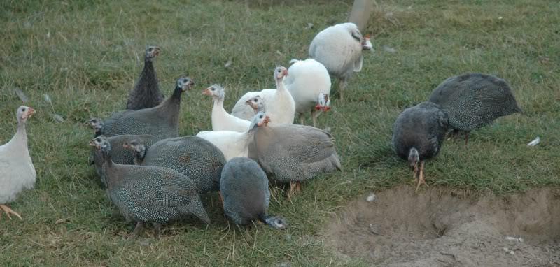 mutatie combinatie vogels